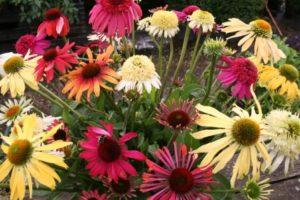 Echinacea-Vielfalt